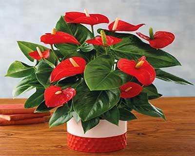 همه چیز در مورد پرورش گل آنتوریوم | فروشگاه اینترنتی ایران کشاورزی | با ارسال رایگان به سراسر کشور