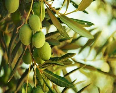 مهمترین آفات درختان زیتون کدامند و چگونه با آنها مبارزه کنیم ؟ | فروشگاه اینترنتی ایران کشاورزی | با ارسال رایگان به سراسر کشور